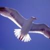 sea-gull-lrg.jpg